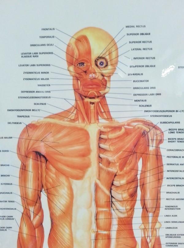 Poster Chart Muscular