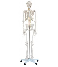 "LIFE-SIZE SKELETON 71""(180cm) INCLUDING STAND"