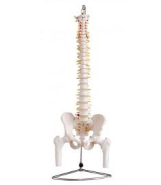 Life-Size Spine Model