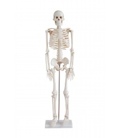 "SKELETON  33.5""(85cm) Height with STAND"