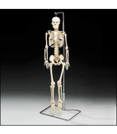 Flexible Mr. Thrifty™ Skeleton With Spinal Nerves
